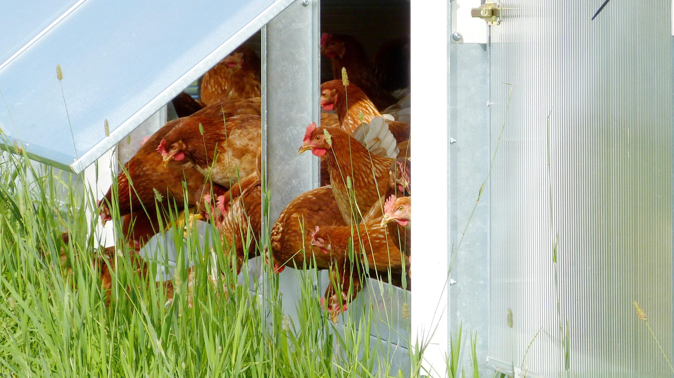Hühner verlassen den Stall